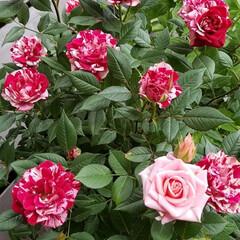 「ミニ薔薇その3」(1枚目)