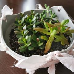 植物のある暮らし 多肉の鉢にリボンをつけて見た🎀