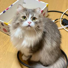 可愛い猫/立ち耳スコ/スコティッシュフォールド立ち耳/スコティッシュフォールドロングヘア/スコティッシュフォールド/スコティッシュ/... 昨日の台風は怖かったにゃん🙀🙀🙀💦