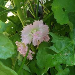 一人暮らし/カフェ風/観葉植物 ぼちぼちタチアオイ科の綺麗な花が咲き始め…(1枚目)