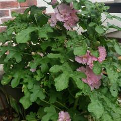 レトロ/カフェ風/北欧/観葉植物 こちらのタチアオイ科さんも頑張って咲いて…(1枚目)