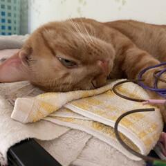 ねこ/猫 笑先生!凄い顔して寝てました(ʘ╻ʘ)