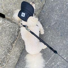 散歩/華音/トイプー/トイプードル/犬 こんにちは🎶 気温33℃暑いです💦💦  …