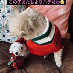 トイプー/トイプードル/犬/プレゼント/シクラメン/カノンタクロース/... おはようございます٩(*´꒳`*)۶ 今…(2枚目)