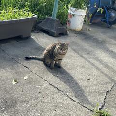 タマちゃん/野良茶君/猫/野良猫 お疲れ様です✋ 夕方散歩🐾 野良茶君とタ…
