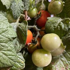 鉢植え/トマト/プチトマト こんにちわ🤗  我が家の鉢植えトマトこん…(3枚目)