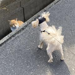 散歩/野良茶君/野良猫/華音/トイプー/トイプードル/... おはようございます。🎶 朝からムシムシで…