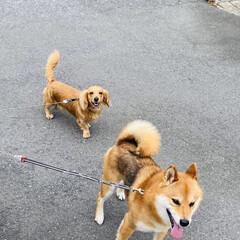 ワンコ同好会/散歩/犬/チワックス/柴犬/トイプー/... こんにちは🌞 朝は曇ってましたが今は青空…