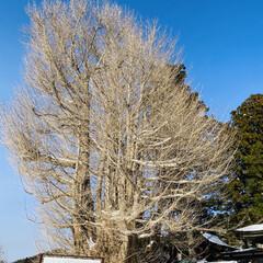 力強さ/幹/頑張る/天然記念物/大銀杏 こんにちは☀️ 今朝の最低気温は-4℃最…