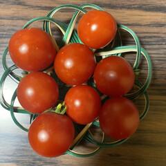 ミニトマト/収穫/鉢植え/トマト こんばんは🌃  先日upした鉢植えトマト…(3枚目)