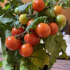 ミニトマト/収穫/鉢植え/トマト こんばんは🌃  先日upした鉢植えトマト…(2枚目)