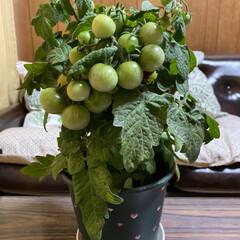 鉢植え/トマト/プチトマト こんにちわ🤗  我が家の鉢植えトマトこん…(2枚目)