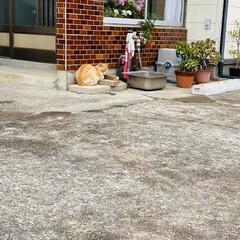 ねこ/野良猫/野良チャ 朝はお天気上々⤴️🌞 八重桜も満開までも…(3枚目)
