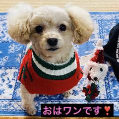 トイプー/トイプードル/犬/プレゼント/シクラメン/カノンタクロース/... おはようございます٩(*´꒳`*)۶ 今…