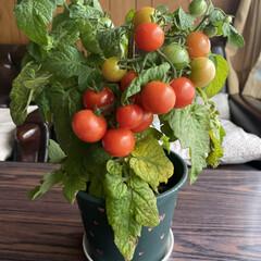 ミニトマト/収穫/鉢植え/トマト こんばんは🌃  先日upした鉢植えトマト…(4枚目)