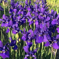 庭/花/紫色 今日も1日お疲れ様でした。🍺ー(・∀・)…