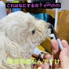 お化粧/トイプー/トイプードル/犬/華音 こんにちは☀️ おしゃまな華音🤗 (2枚目)
