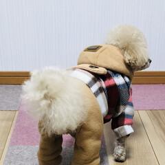 犬/暖かい/トイプー/トイプードル/ブラッシング/マイナス16℃/... おはようございます☀️ 今朝も寒かったで…