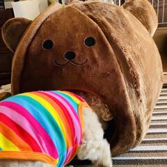 ベッド/熊さん/お家/冬用/トイプー/トイプードル/... おはようございます٩(*´꒳`*)۶ 華…(3枚目)