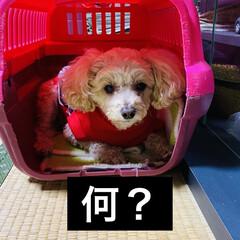怒る/お散歩/華音/トイプー/トイプードル/犬 こんばんは☔ 台風の影響でしょうか、午後…