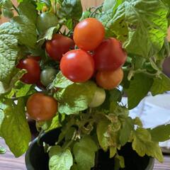 ミニトマト/収穫/鉢植え/トマト こんばんは🌃  先日upした鉢植えトマト…
