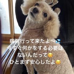 犬/検査/胆嚢/トイプー/トイプードル/病院/... こんばんは🌃 台風の影響て朝から土砂降り…(1枚目)