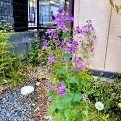 散歩/紫/ご近所/さつき/野草 🐩の散歩🐶🐾🐾  途中に紫系の野草や、ご…