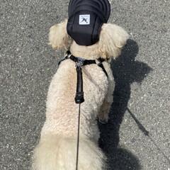暑い/帽子/トイプー/トイプードル/散歩 こんにちは✋  今日は暑いですね🌞  午…