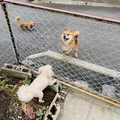 ワンコ同好会/散歩/犬/チワックス/柴犬/トイプー/... こんにちは🌞 朝は曇ってましたが今は青空…(2枚目)