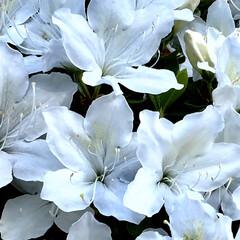花/トイプードル/庭/お家/さつき/雨上がり 雨もあがり薄日がさしてきました。😊 気分…