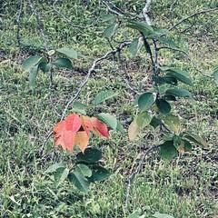公園/紅葉/桜の葉/桜の木 こんにちはʕ·͡·ʔ 今日も暑い一日でし…(1枚目)