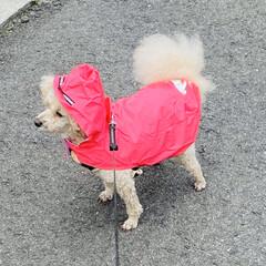 雨/レインコート/散歩/トイプードル/トイプー こんにちは🎶  朝方雨がパラパラ☂️ お…