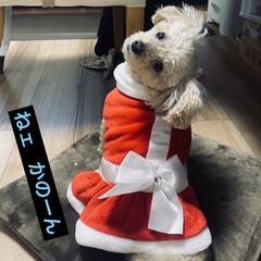 出発/クリスマス/🍘/トイプー/トイプードル/犬/... おはようございます🌞 お天気です\(^o…