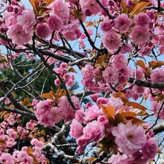 ねこ/野良猫/野良チャ 朝はお天気上々⤴️🌞 八重桜も満開までも…(1枚目)