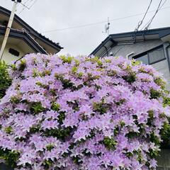おじいちゃん/ご近所/さつき ご近所のお宅の花です。❣️  いつも、お…