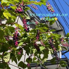 カラス/ご近所/有毒植物/ヨウシュヤマゴボウ こんにちは😊  ご近所の庭に何やら美味し…(2枚目)