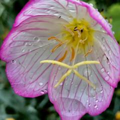 雨の雫/近所/散歩/雨 こんにちは🎶 朝から雨、霧雨☂️気温18…(2枚目)