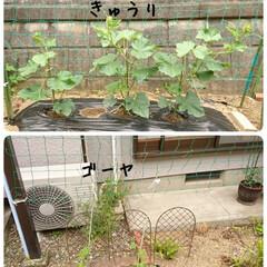 おうち時間/暮らしを楽しむ/菜園/プランター/庭のある暮らし/野菜作り/... 家庭菜園 先週、夏野菜植えをしました 毎…(4枚目)