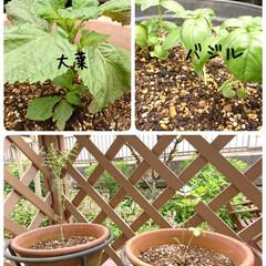 おうち時間/暮らしを楽しむ/菜園/プランター/庭のある暮らし/野菜作り/... 家庭菜園 先週、夏野菜植えをしました 毎…(3枚目)