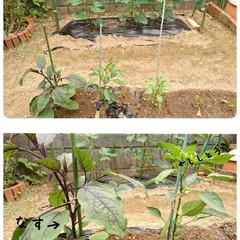 おうち時間/暮らしを楽しむ/菜園/プランター/庭のある暮らし/野菜作り/... 家庭菜園 先週、夏野菜植えをしました 毎…