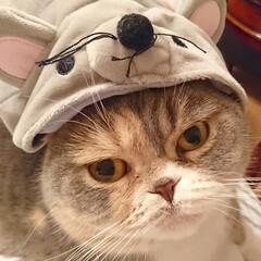 猫/スコティッシュ/我が家のにゃんこ/ねずみさん/帽子/お正月2020 我が家のスコティッシュ折れ耳の女の子 い…