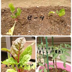おうち時間/暮らしを楽しむ/菜園/プランター/庭のある暮らし/野菜作り/... 家庭菜園 先週、夏野菜植えをしました 毎…(2枚目)