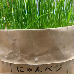 猫草栽培キット にゃんベジリフィル ハリオ HARIO   ハリオ(猫草)を使ったクチコミ「どんどん生えてきました🌱 先がちぎれてい…」