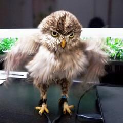 写真下手くそ選手権/ひよこ/鳥/小鳥/ふくろう/コキンメフクロウ/... ふくろうのふーたんがぶるぶるっとした瞬間…