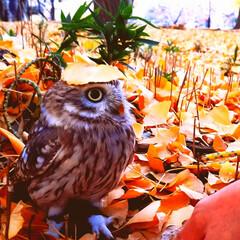 小さな秋/銀杏/イチョウ/秋/鳥/小鳥/... ふくろうのふーたんが小さな秋を見つけたと…
