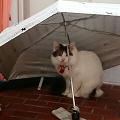 猫の好きなこと/LIMIAペット同好会/にゃんこ同好会 娘の折り畳み傘を玄関に広げておいたら、暖…