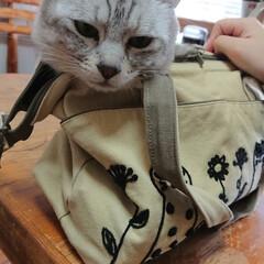 かばん猫/フォロー大歓迎/LIMIAペット同好会/にゃんこ同好会 娘のバッグに入り込んで神妙な顔のライト兄…(2枚目)