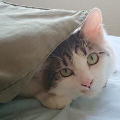 LIMIAペット同好会/にゃんこ同好会 枕を布団に寝ようか遊ぼうか、迷っている暖…(2枚目)