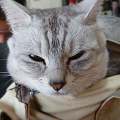 かばん猫/フォロー大歓迎/LIMIAペット同好会/にゃんこ同好会 娘のバッグに入り込んで神妙な顔のライト兄…(1枚目)