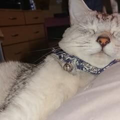 LIMIAペット同好会/にゃんこ同好会 枕を布団に寝ようか遊ぼうか、迷っている暖…(3枚目)